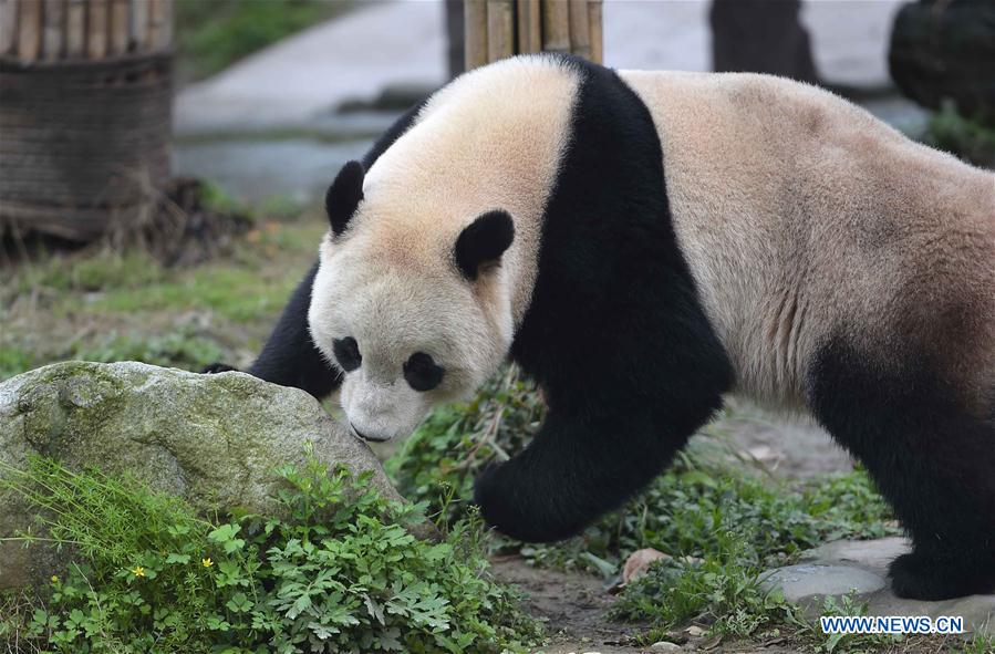Photo taken on March 24, 2017 shows the giant panda Bao Bao at the Dujiangyan base of the China Conservation and Research Center for the Giant Panda in southwest China's Sichuan Province. Bao Bao, a giant panda born in the United States, ended its one-month quarantine here on Friday after returning to China. (Xinhua/Xue Yubin)