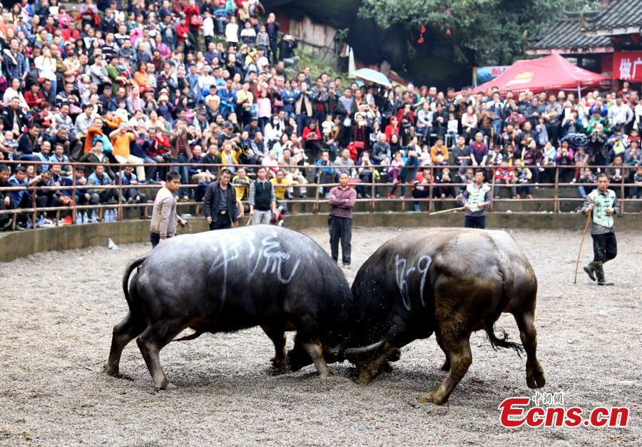 Traditional bullfight held in SW China's Guangxi