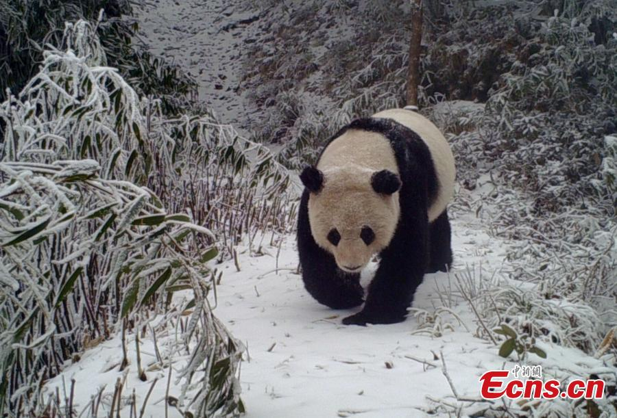 Photo of wild panda caught on camera in Sichuan
