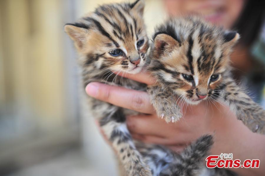 Cute leopard cat cubs at Yunnan Safari Park