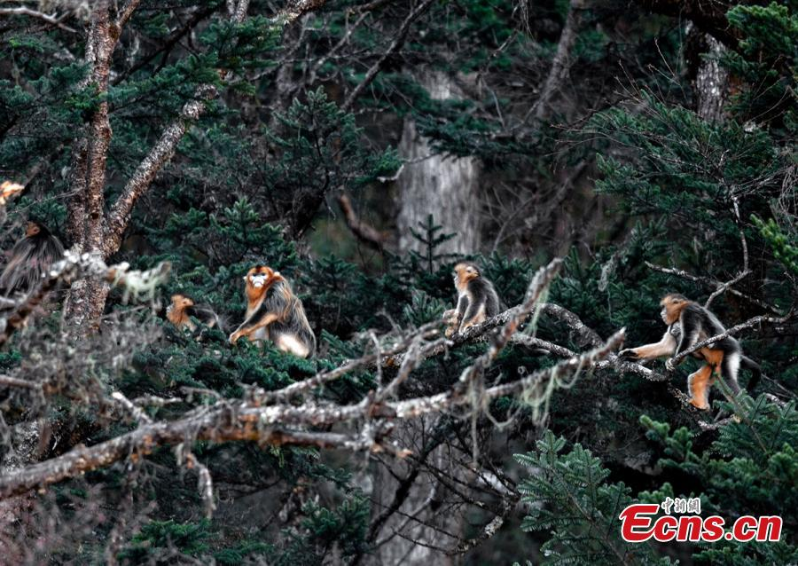 Troop of wild golden monkeys found in southwest China's forest