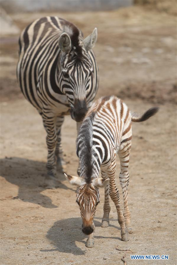 #CHINA-SHANDONG-NEWBORN ZEBRA (CN)