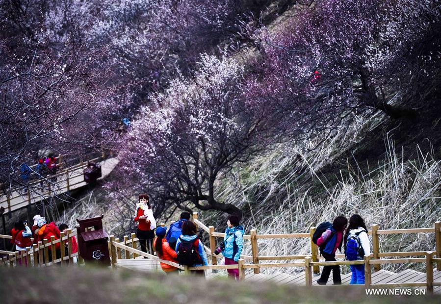 CHINA-XINJIANG-TURGEN-APRICOT BLOSSOM (CN)