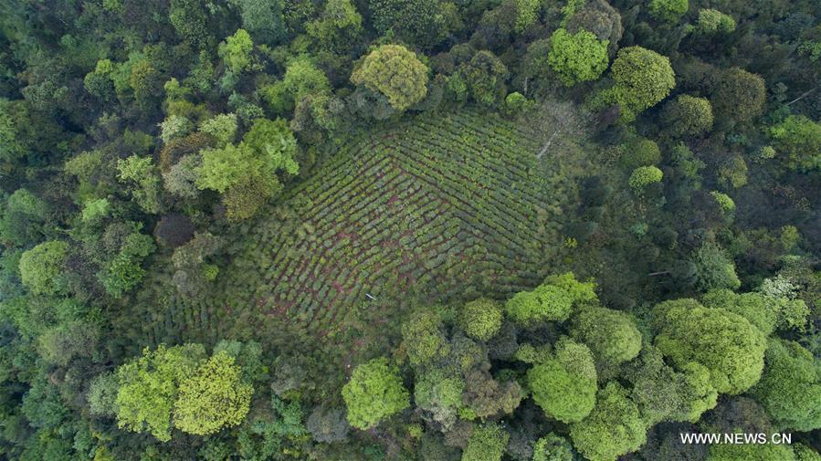Organic tea gardens developed among forests of Emei mountain
