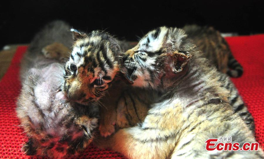 Cute tiger cubs at northeastern China park
