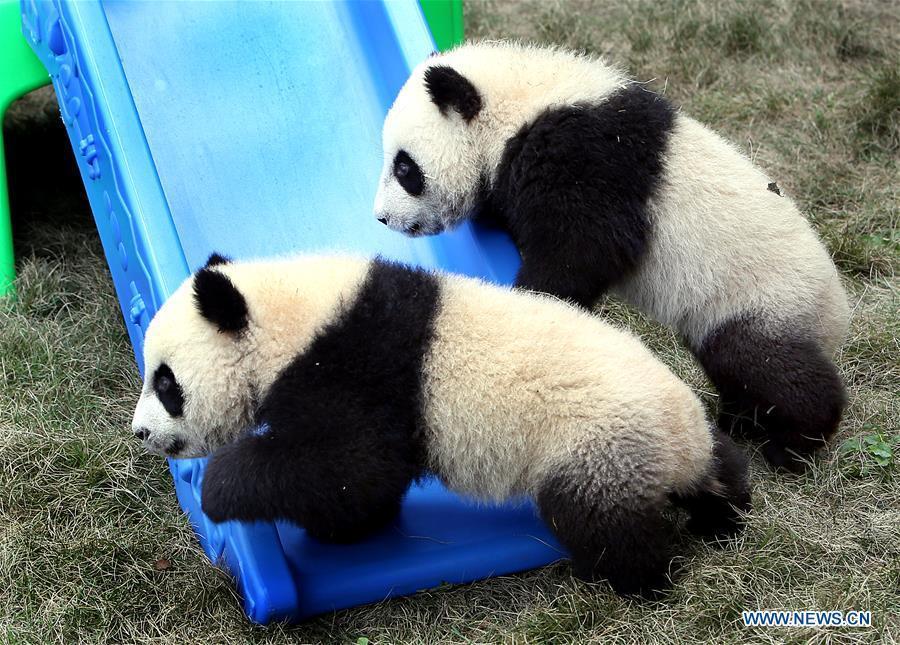 Pigeon pair giant panda cubs named