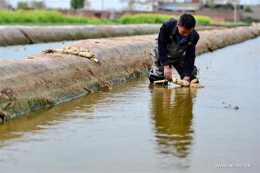 CHINA-HEBEI-LOTUS ROOT-PLANTING (CN)