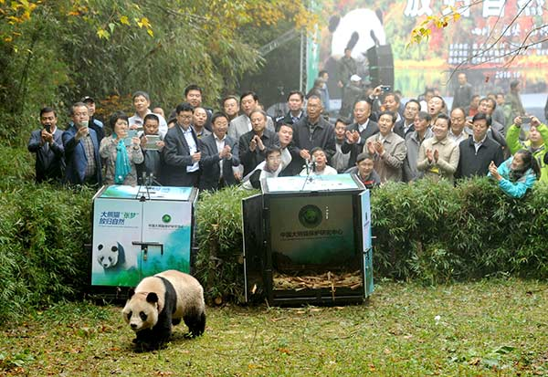 Hua Yan and Zhang Meng (in cage), two female giant pandas born in the China Conservation and Research Center for the Giant Panda, were released into the wild in Shimian county, Sichuan province, in October. (Photo/China Daily)