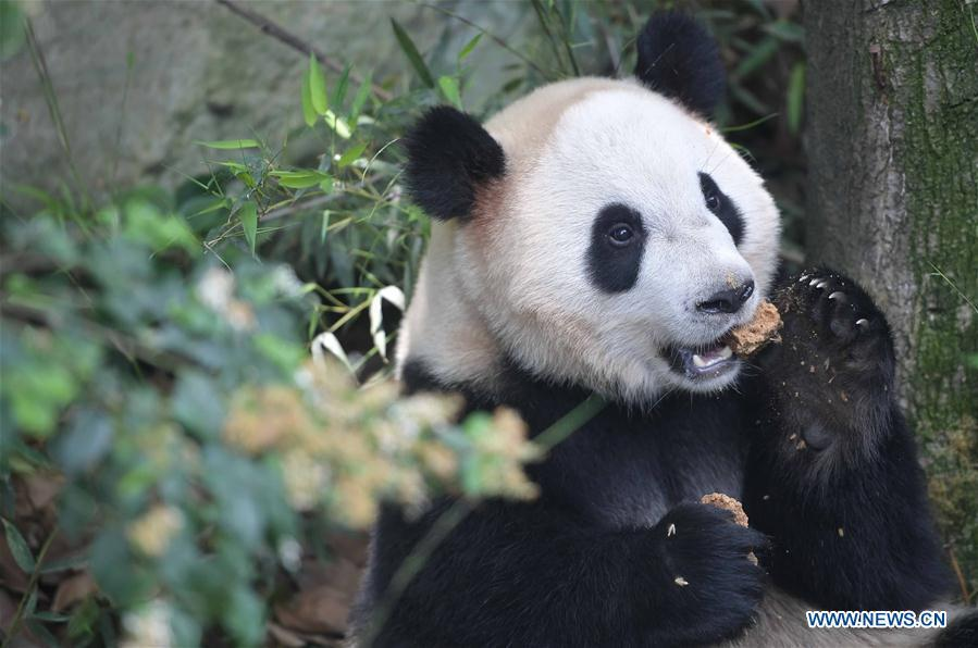 giant panda how chinas economic New panda cub to bring $242 million economic effect:  a ueno zoo staff points to an image of giant panda shin shin  wild giant panda in sw china.
