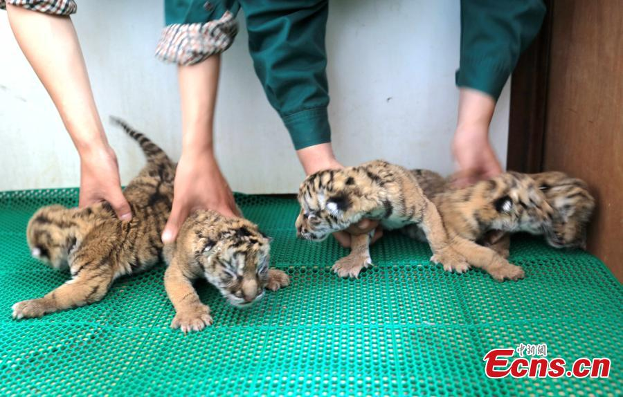 50 new births at world's largest breeding center for Siberian Tigers