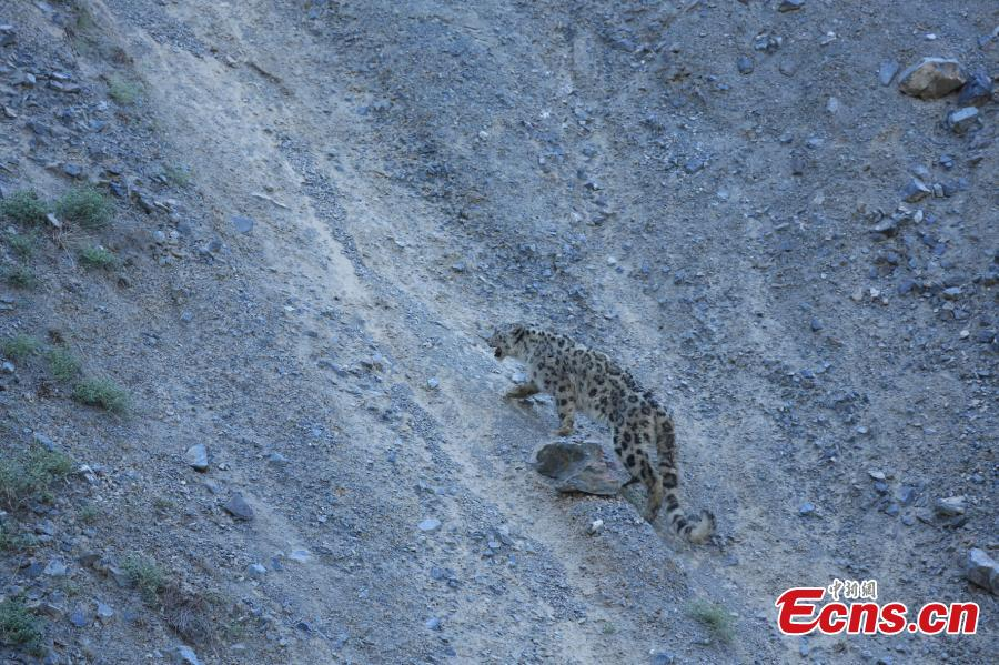 Snow leopard back to nature after recovery