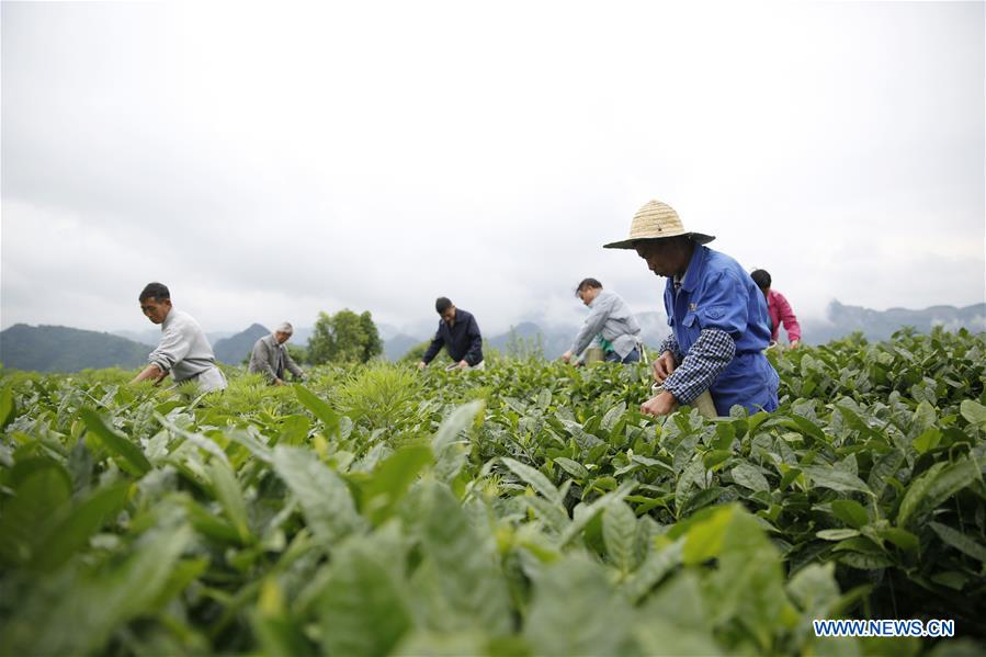 In pics: tea base in Kaiyang County, SW China's Guizhou