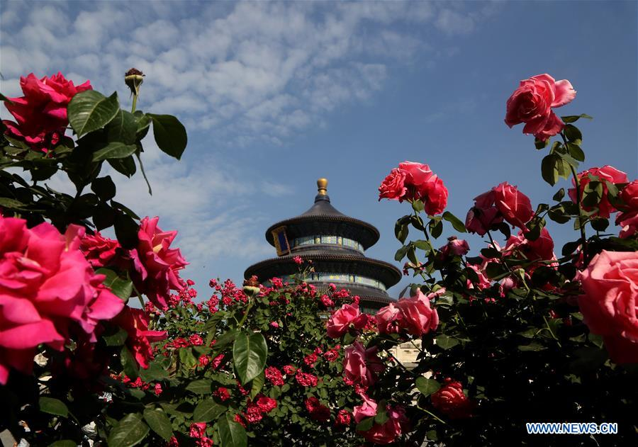 #CHINA-BEIJING-CHINESE ROSE (CN)
