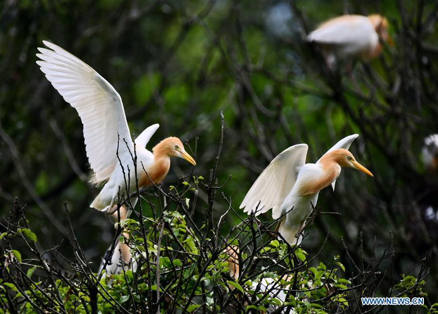 CHINA-FUJIAN-EGRET (CN)