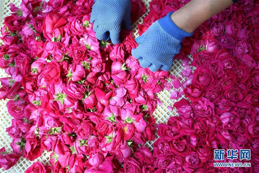 Roses offer more than romance to farmers