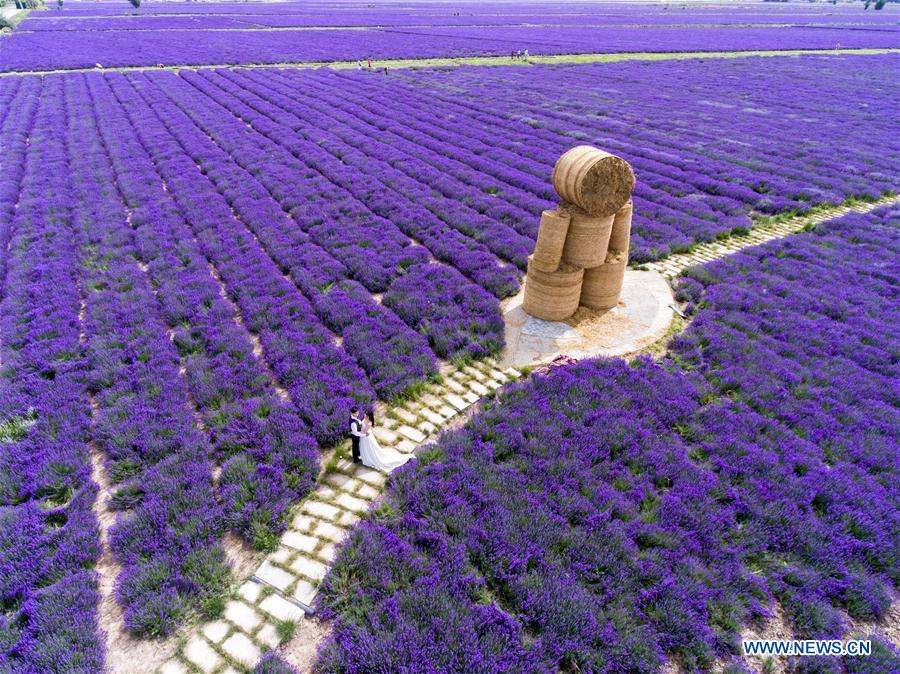 #CHINA-XINJIANG-LAVENDER-PLANTATION (CN)