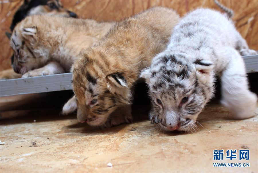 Tiger cubs nursed by dog in Xixiakou Zoo