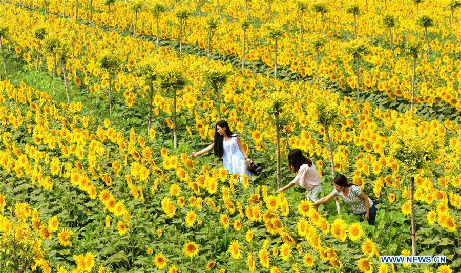 CHINA-SHIJIAZHUANG-SUNFLOWER (CN)