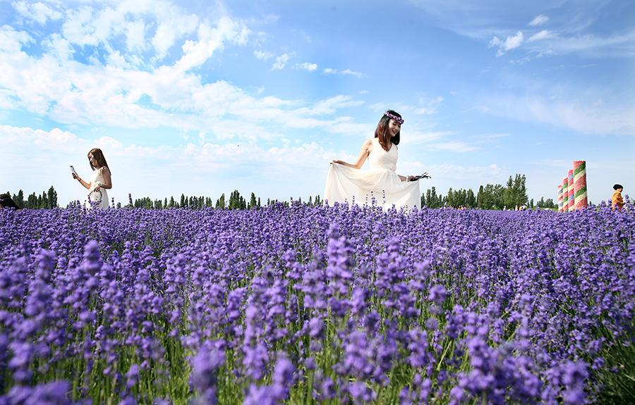 Lavenders bloom at Xinjiang's tourism festival