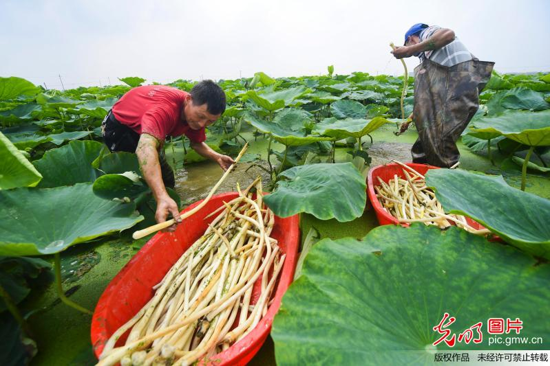Farmers busy harvesting lotus root in e chinas jiangxi province1 farmers busy harvesting lotus root in e chinas jiangxi province mightylinksfo