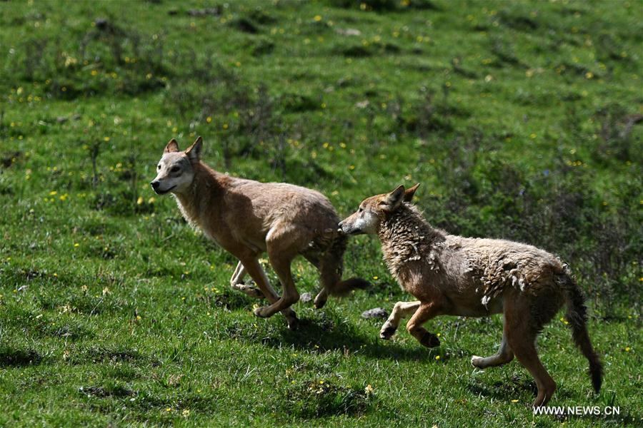 Two wolves rescued by animal protection activists released