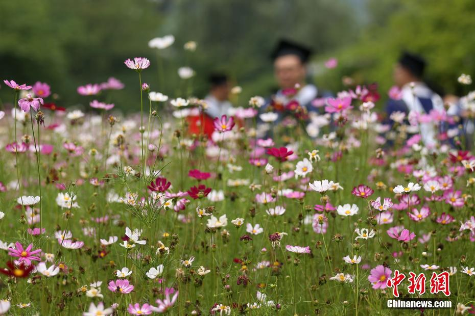 Galsang flowers in full blossom in E China's Nanjing