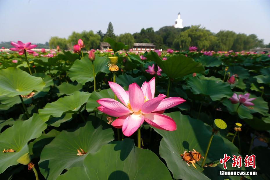 Lotus flower exhibition held in Beihai Park in Beijing