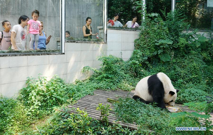 Panda enjoys fruit shake with ice to escape heat in Fuzhou