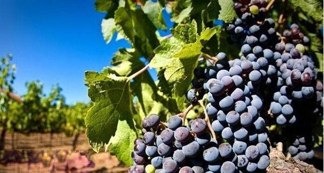 China has agreed to import grapes from Egypt after two years of negotiations. [File photo: Baidu]