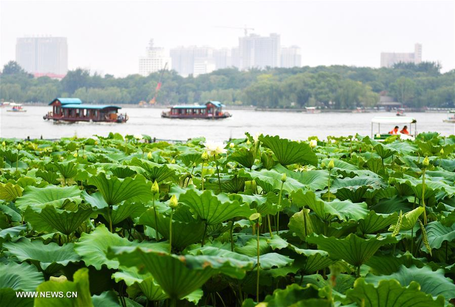 CHINA-SHANDONG-JINAN-LOTUS FLOWERS (CN)
