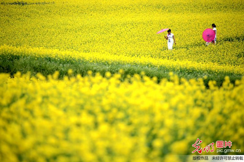 Sea of rape flower in China's Gansu