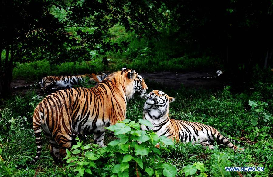 CHINA-HEILONGJIANG-SUMMER-SIBERIAN TIGER (CN)