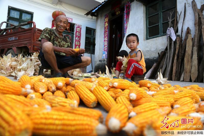 广西全州:立秋时节秋收忙