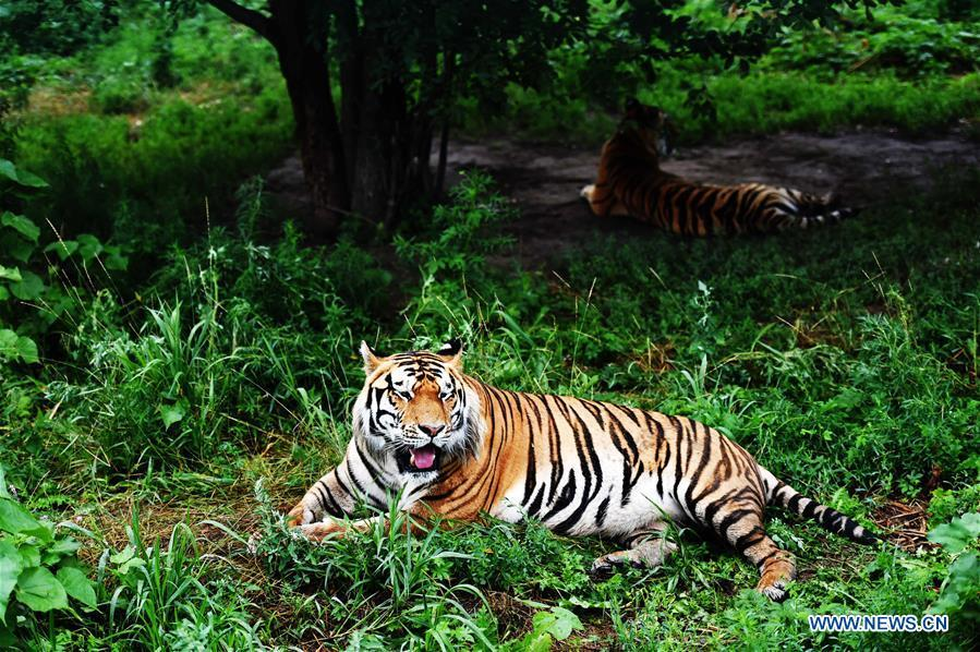 Life of Siberian tigers in Siberian Tiger Park