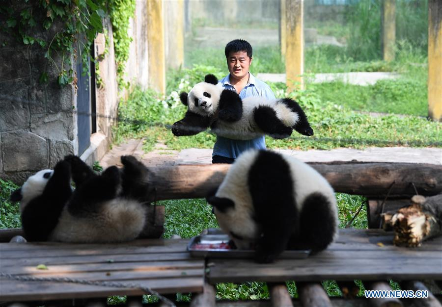 Meet a 'dad of pandas' in Chongqing