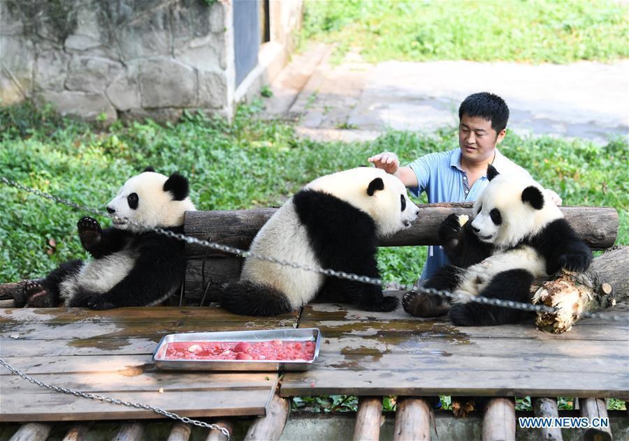 Meet a 'dad of pandas' in Chongqing
