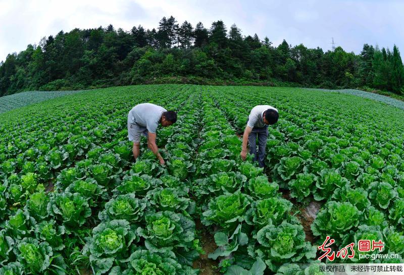 湖北恩施:高山蔬菜助农增收脱贫
