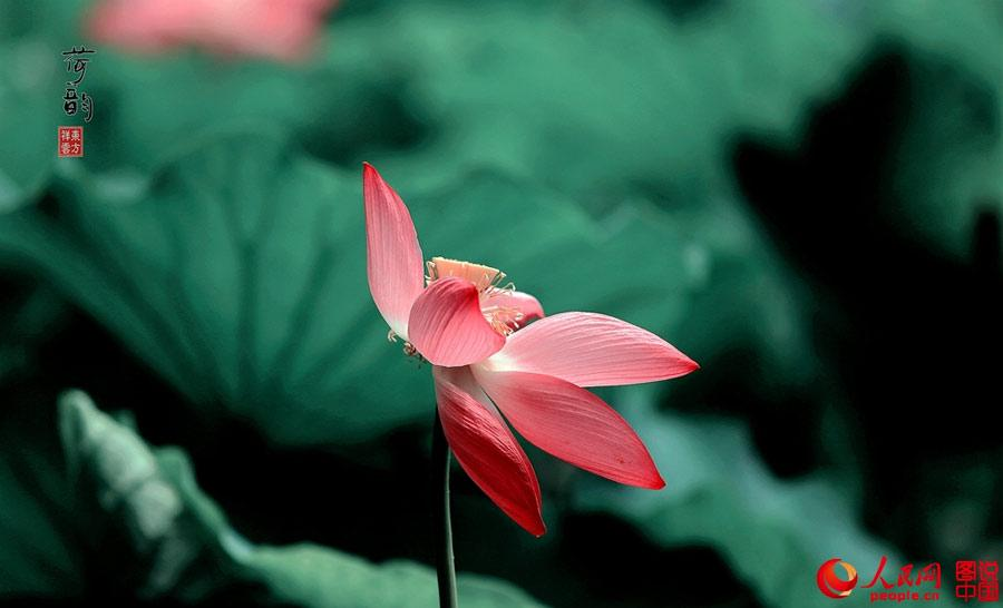 Portraits of lotus in China