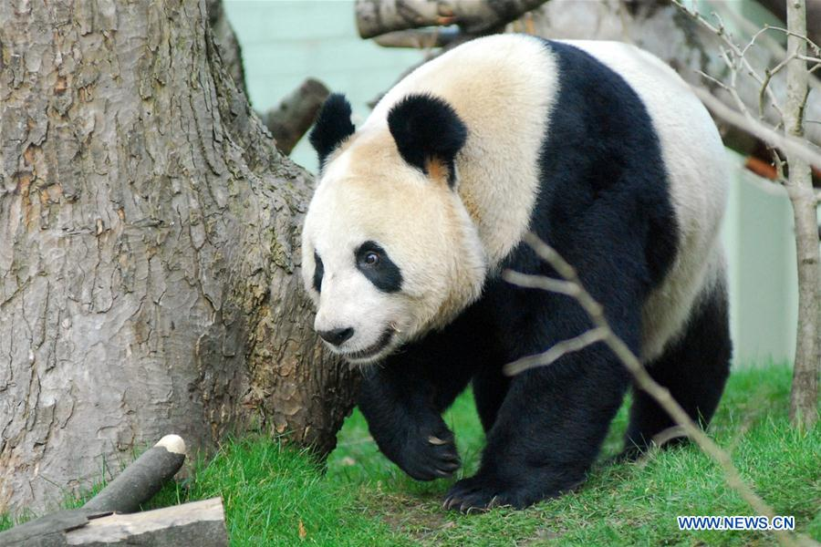 BRITAIN-LONDON-EDINBURGH ZOO-GIANT PANDA-PREGNANCY