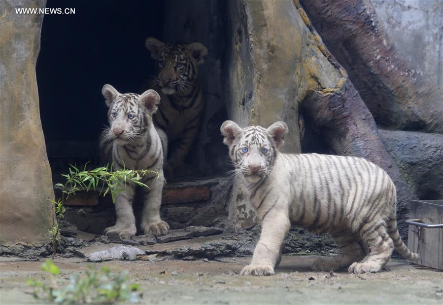 #CHINA-SHANDONG-JINAN-TIGER TRIPLETS (CN)
