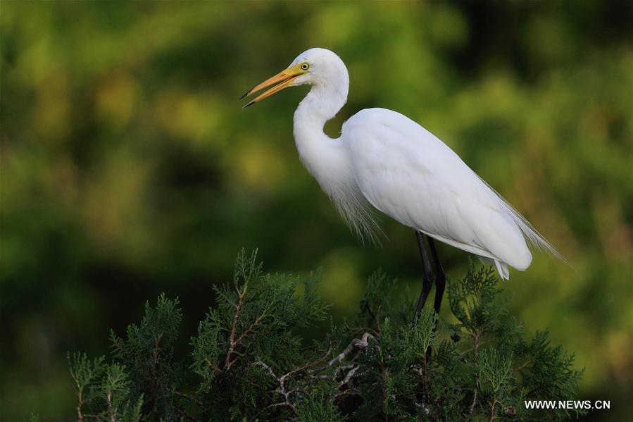 #CHINA-JIANGSU-HUAI'AN-EGRETS (CN)