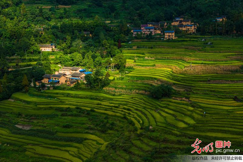 Colorful scenery of terraced rice fields in Chongqing