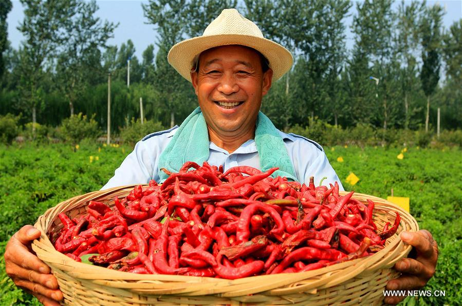 CHINA-HEBEI-HANDAN-CHILLI HARVEST (CN)