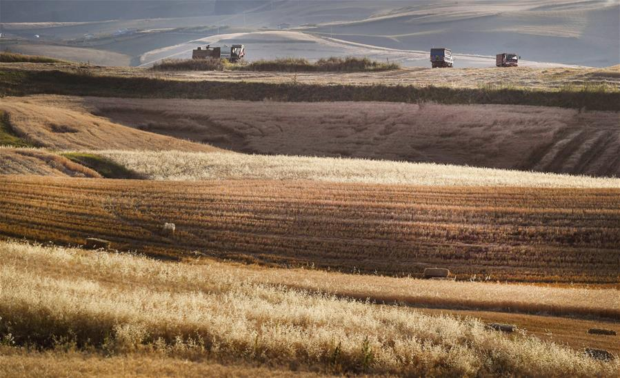 CHINA-XINJIANG-WHEAT-HARVEST(CN)