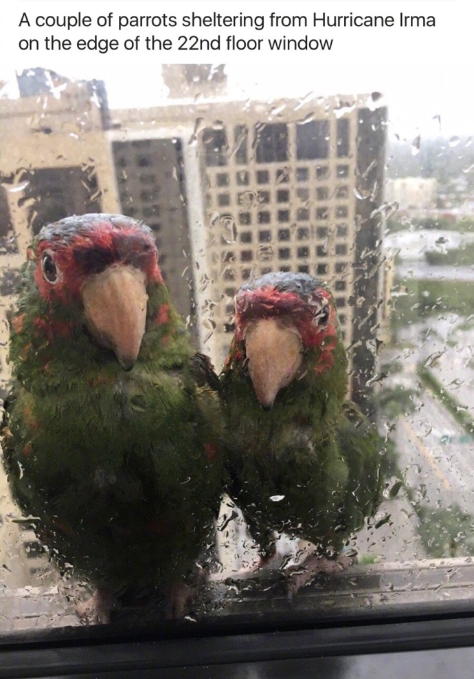 A couple of parrots sheltering from Hurricane Irma on the edge of the 22nd floor window