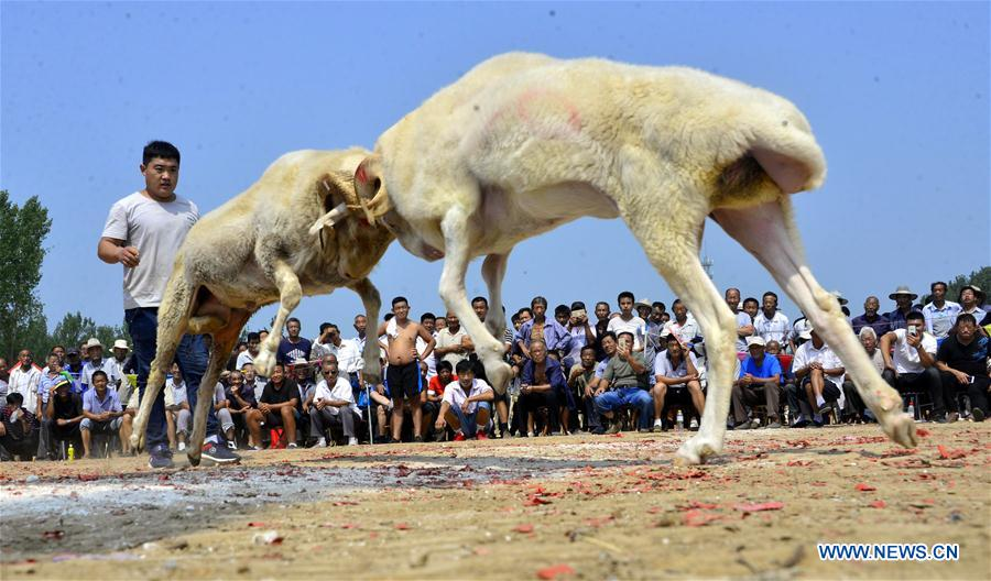 #CHINA-SHANDONG-GOAT FIGHT(CN)
