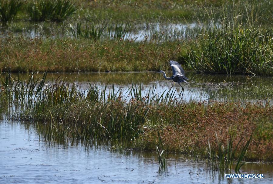 CHINA-JILIN-BAICHENG-MOMOGE WETLAND-BIRDS (CN)