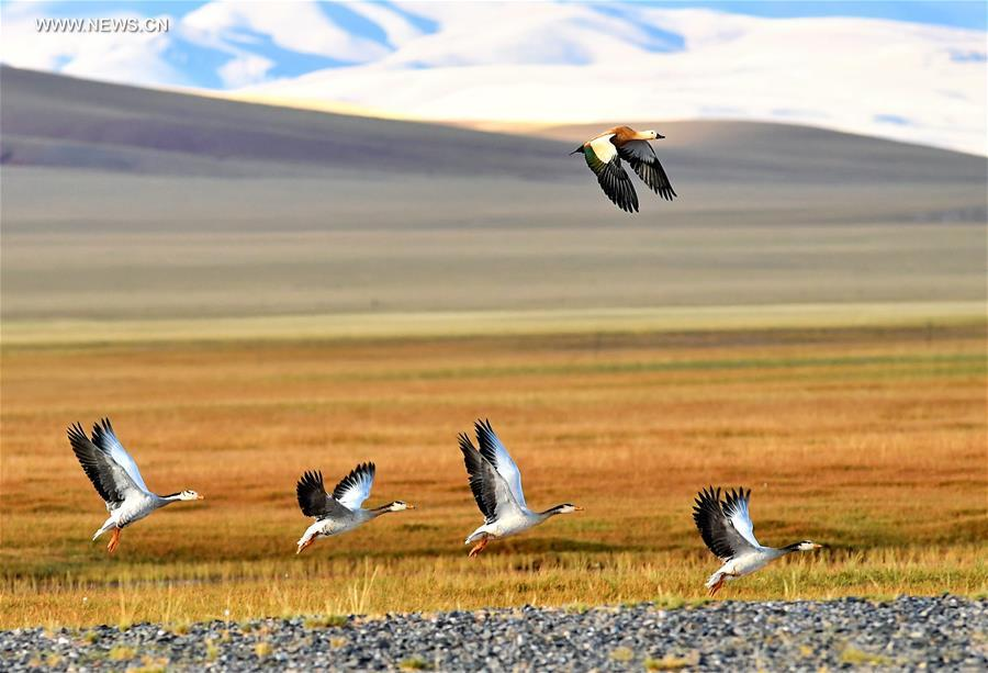 CHINA-TIBET-CHANGTANG RESERVE-WILDLIFE (CN)