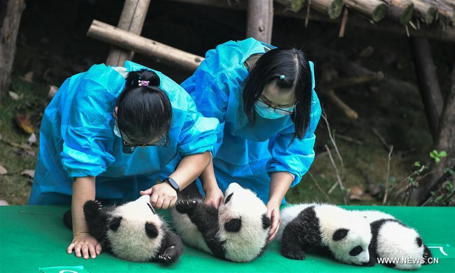 CHINA-SICHUAN-CHENGDU-PANDA CUBS (CN)