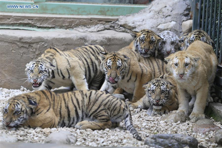#CHINA-SHANDONG-JINAN-TIGER CUBS (CN)